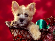 Season's_Wishes_Cairn_Terrier_Puppy