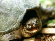 Snapping_Turtle_Franklin_Tennessee