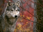The Lookout, Gray Wolf
