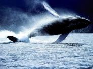 whale_wallpaper_12