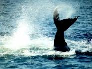 whale_wallpaper_14