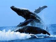 whale_wallpaper_20