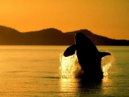 whale_wallpaper_22