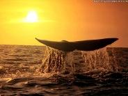 whale_wallpaper_25