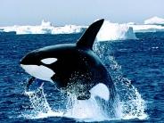 whale_wallpaper_3