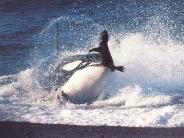 whale_wallpaper_4