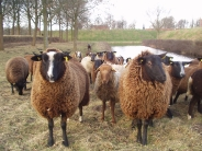 sheep_wallpaper_10