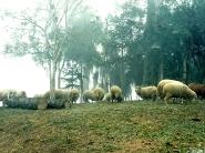 sheep_wallpaper_13