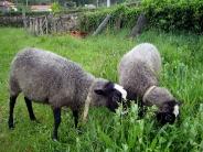 sheep_wallpaper_4