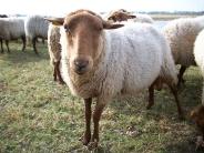 sheep_wallpaper_5