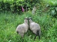sheep_wallpaper_6