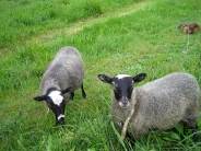 sheep_wallpaper_7