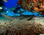 shark_wallpaper_10
