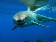shark_wallpaper_11