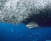 shark_wallpaper_12