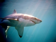 shark_wallpaper_13