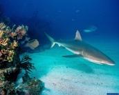 shark_wallpaper_14