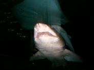 shark_wallpaper_15