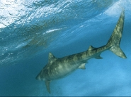 shark_wallpaper_17