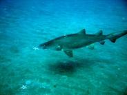 shark_wallpaper_18