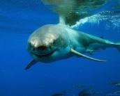 shark_wallpaper_19
