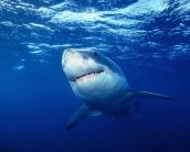 shark_wallpaper_2