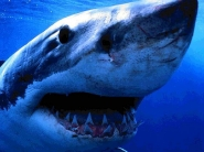 shark_wallpaper_20