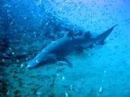 shark_wallpaper_21