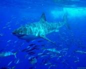 shark_wallpaper_22