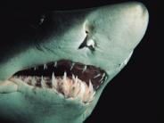 shark_wallpaper_23