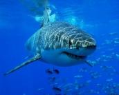 shark_wallpaper_24