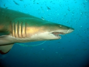 shark_wallpaper_26