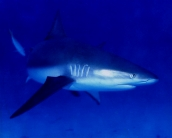 shark_wallpaper_27