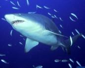 shark_wallpaper_28