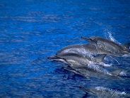 dolphin_wallpaper_1