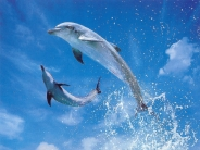 dolphin_wallpaper_13