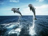 dolphin_wallpaper_20
