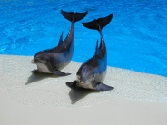 dolphin_wallpaper_23