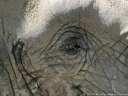 elephant_wallpaper_14