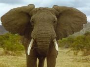 elephant_wallpaper_15