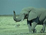 elephant_wallpaper_26