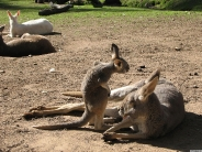 kangaroos_wallpaper_1