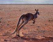 kangaroos_wallpaper_11