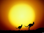 kangaroos_wallpaper_12