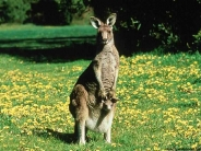 kangaroos_wallpaper_13