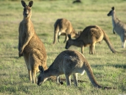 kangaroos_wallpaper_5