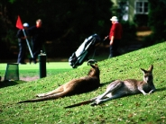 kangaroos_wallpaper_7