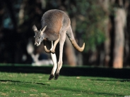 kangaroos_wallpaper_8