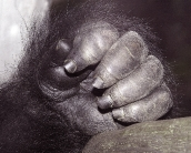 monkey_wallpaper_1