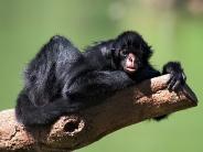 monkey_wallpaper_10